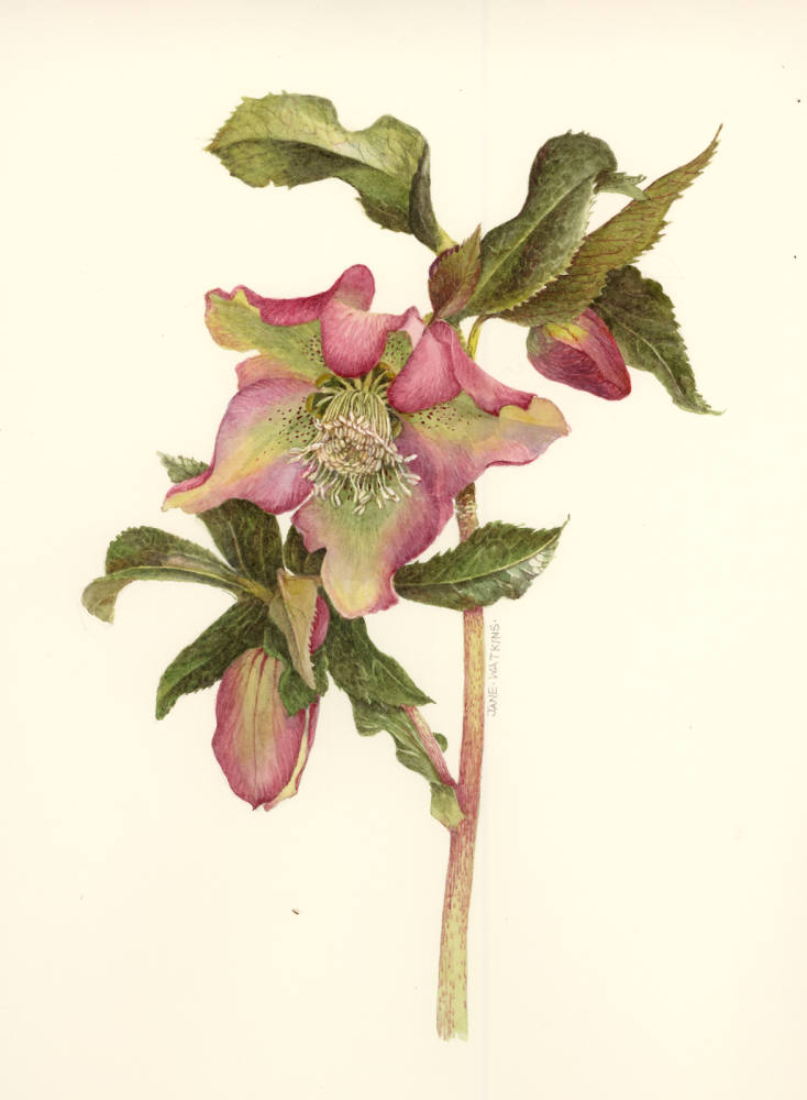 JACQUELINE_HELLEBORE_PINK_AND_GREEN.jpg