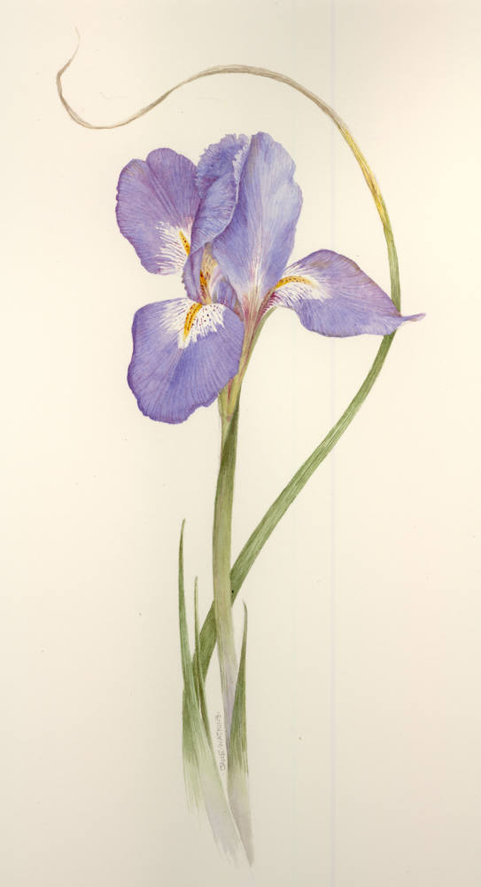 GREENGOLD_IRIS_UNGULARIS.jpg