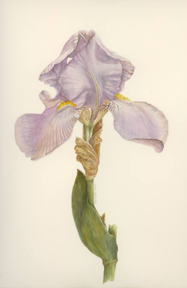 PALE_BEARDED_IRIS.jpg