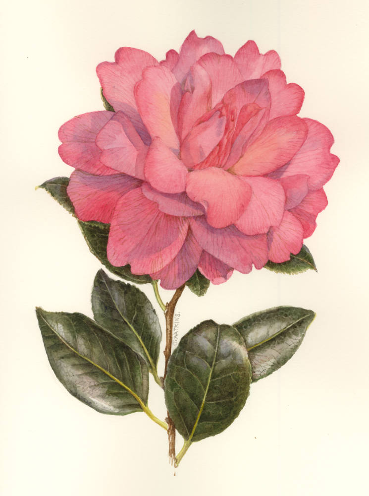 HILDRED_CAMELIA_DOUBLE_PINK.jpg