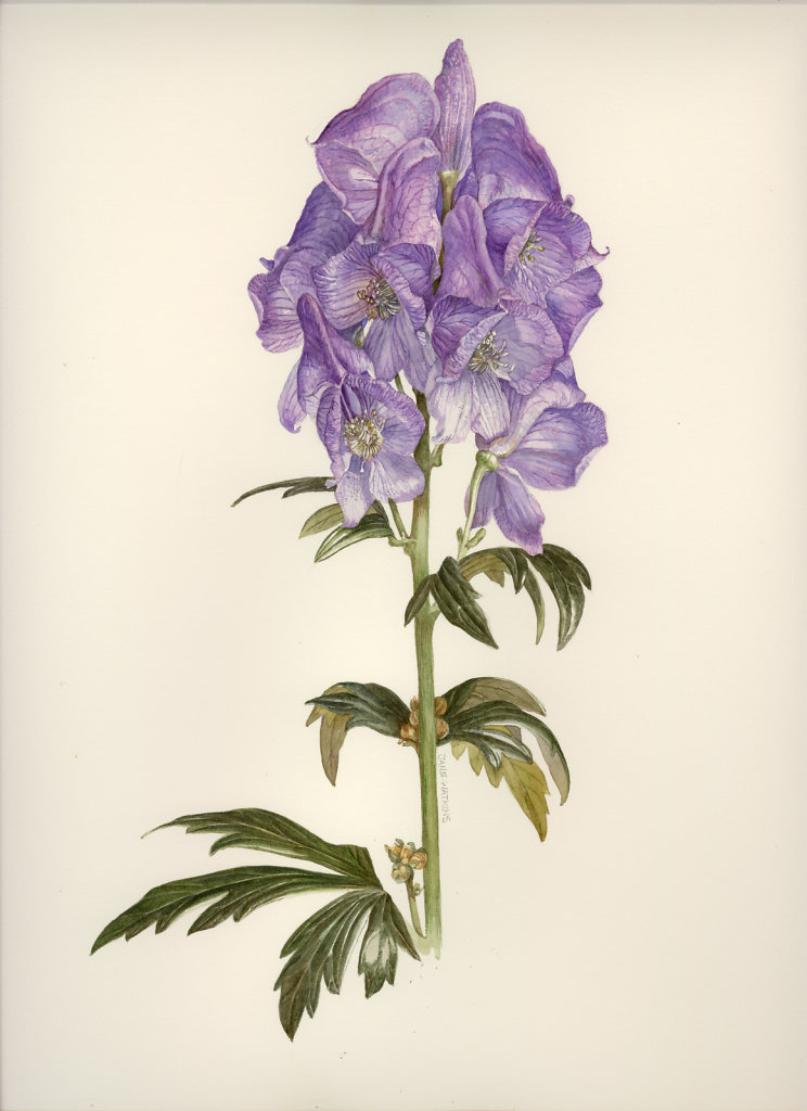 MONKSHOOD.jpg