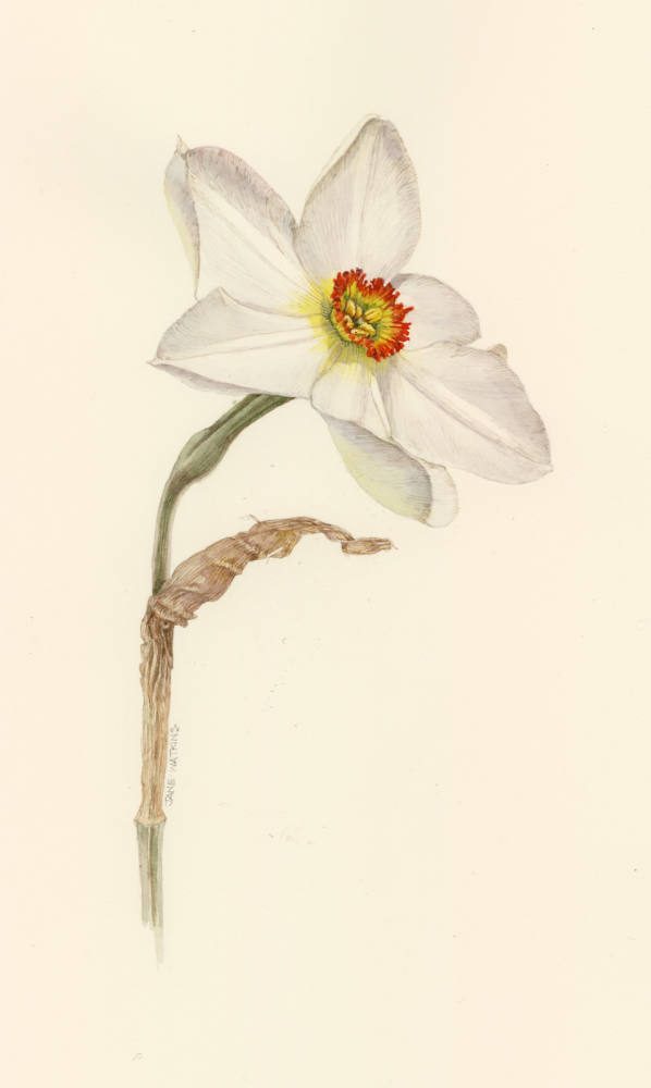 NARCISSUS_PHEASANTS_EYE.jpg